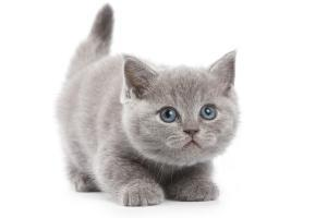 Pet Insurance Kitten