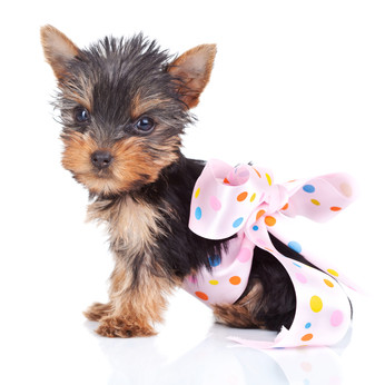 Petinsure.ie 'dog of the month' – Yorkshire Terrier