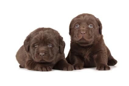 Petinsure.ie 'dog of the month' – Labrador retriever is top dog